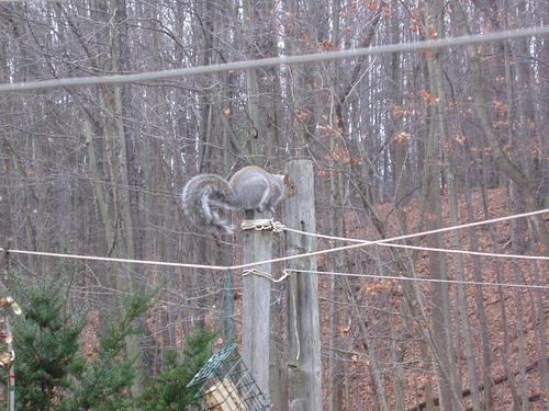 fat ass squirrel